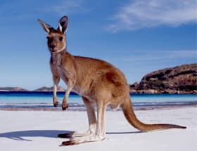 Destination_Kangaroo Moving To Australia